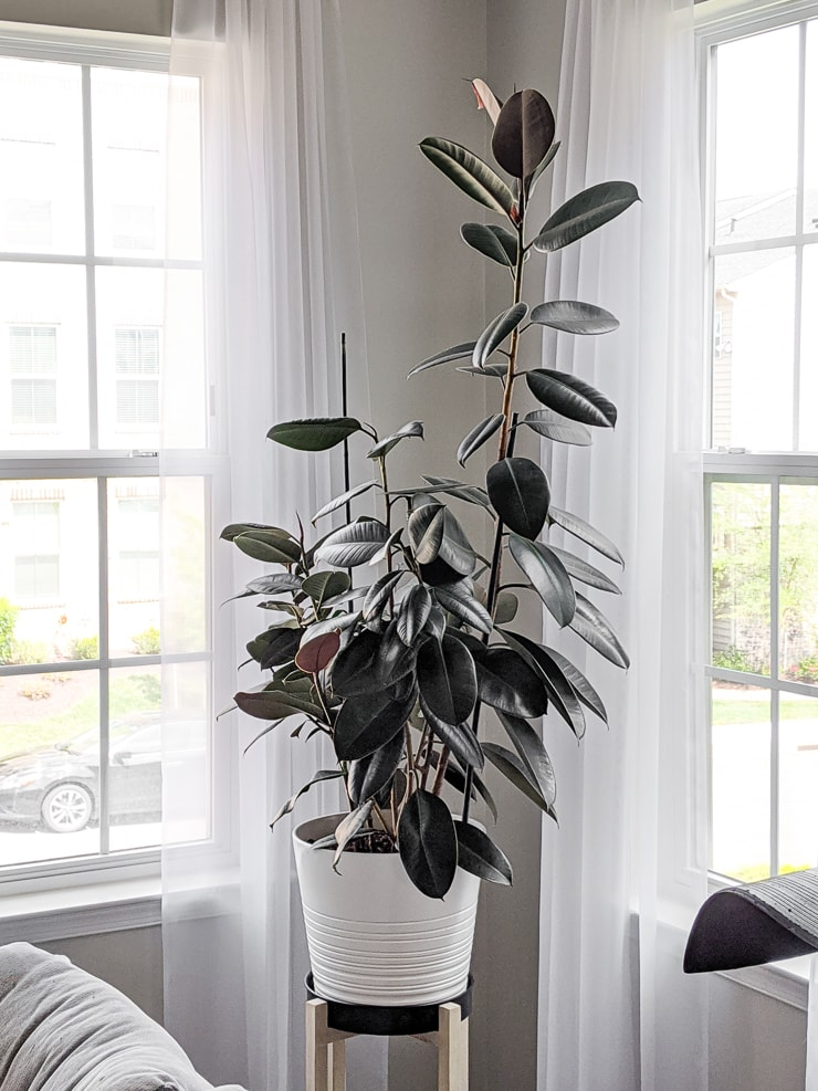 large staked rubber plant