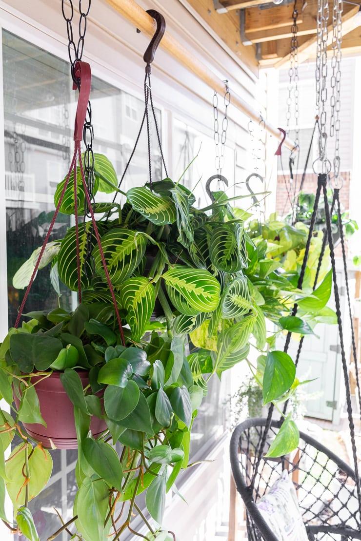beautiful trailing plants on a DIY hanging plant rod
