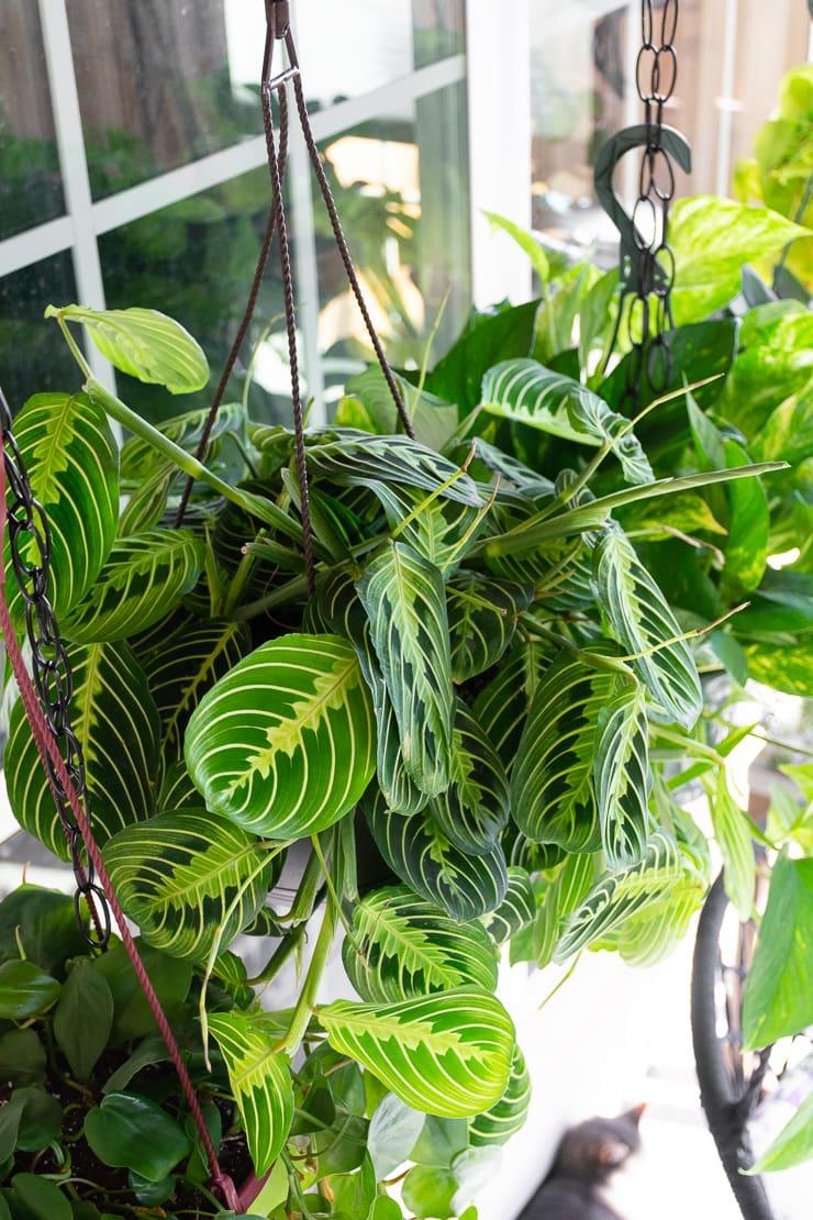 beautiful maranta prayer plant