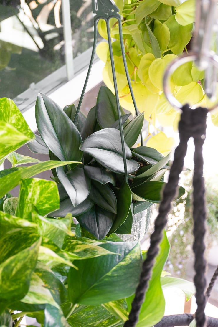 scindapsus treubii moonlight on a hanging plant rod outside