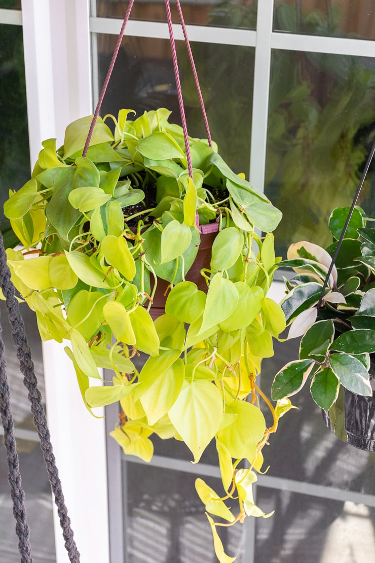 beautiful lemon-lime heart-leaf philodendron