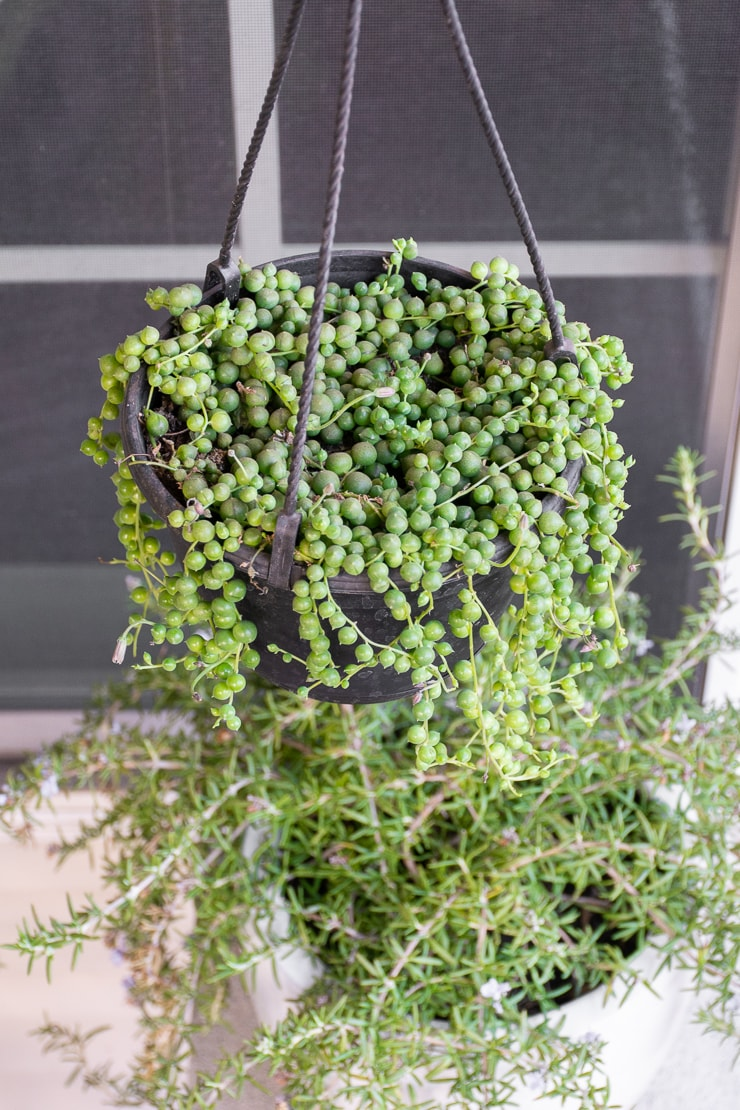 string of pearls trailing from a planter
