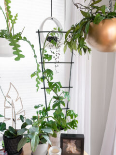 r. tetrasperma mini monstera plant climbing a bamboo houseplant trellis I made