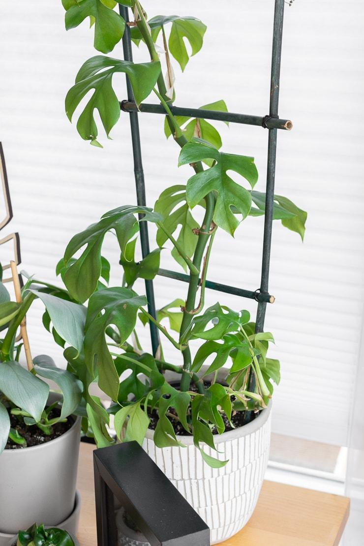 r. tetrasperma mini monstera plant climbing a bamboo houseplant trellis I made