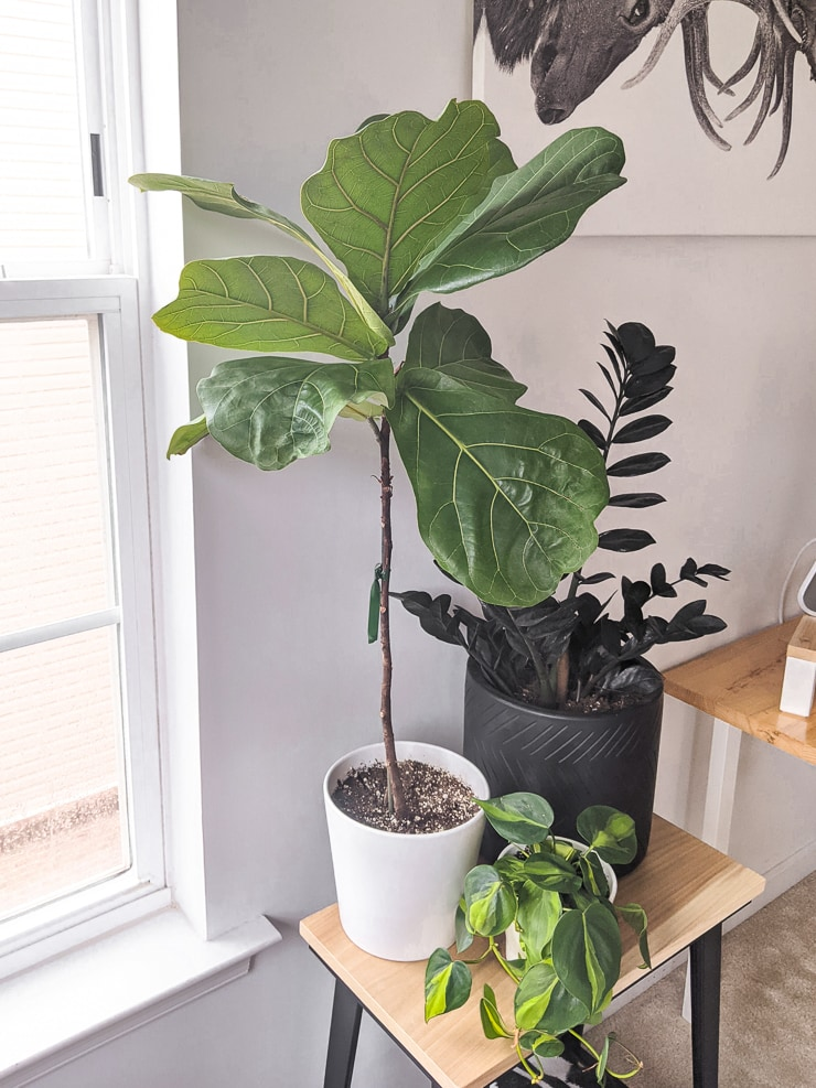staked fiddle leaf fig propagation