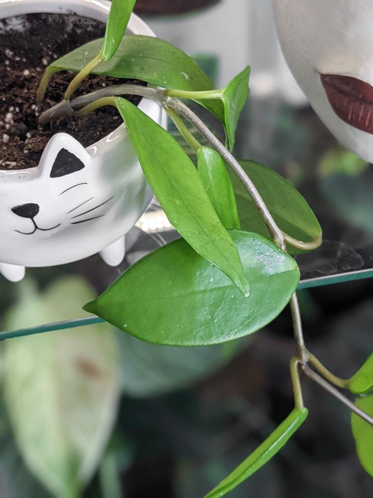 closeup of hoya carnosa leaves