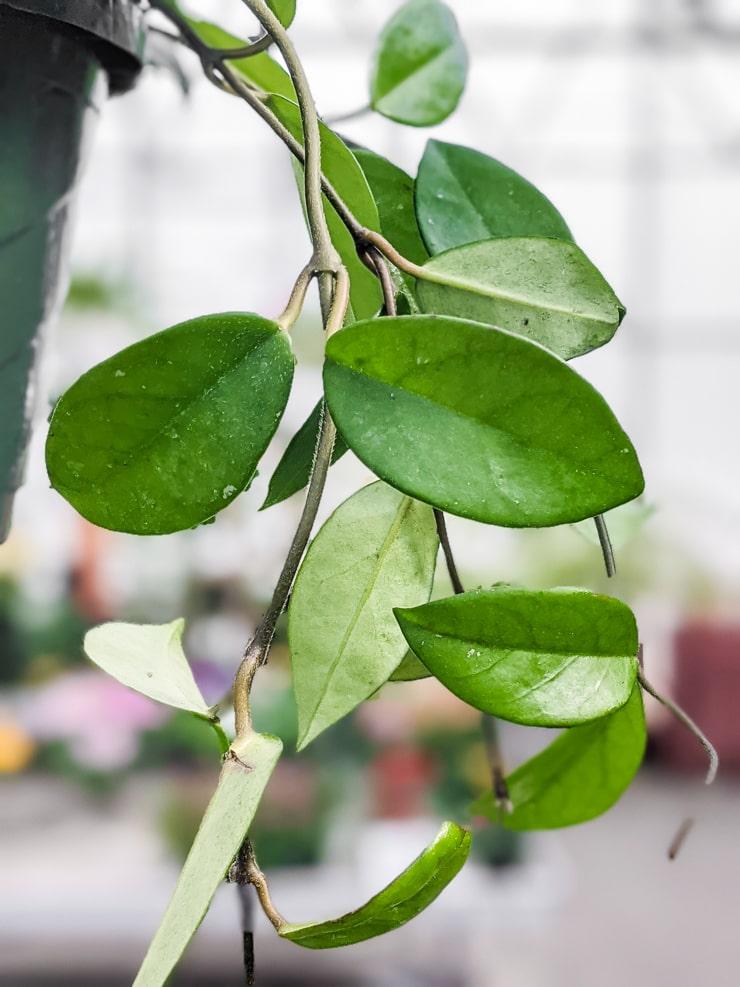 vining hoya carnosa plant