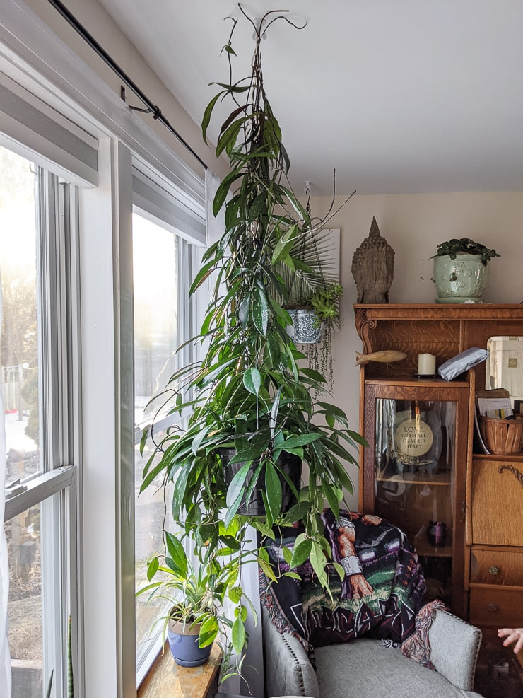 large vining and trailing hoya pubicalyx plant