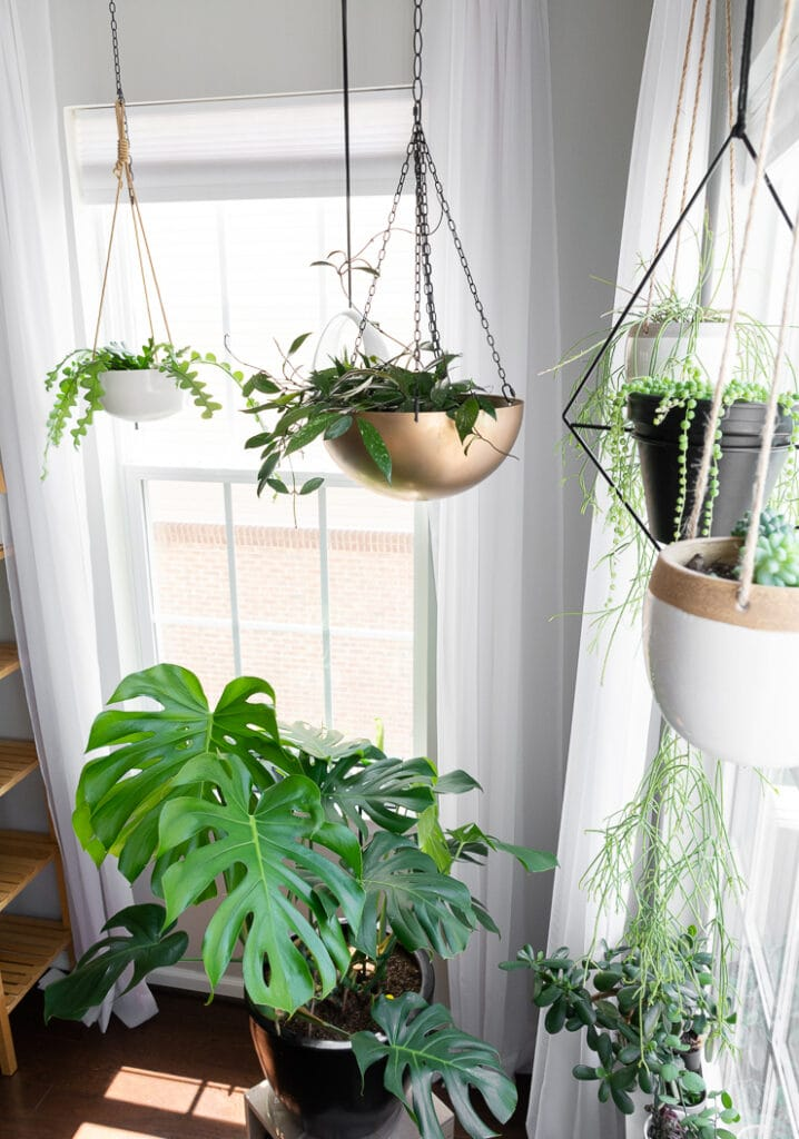 beautiful room with hanging plants and a large monstera plant