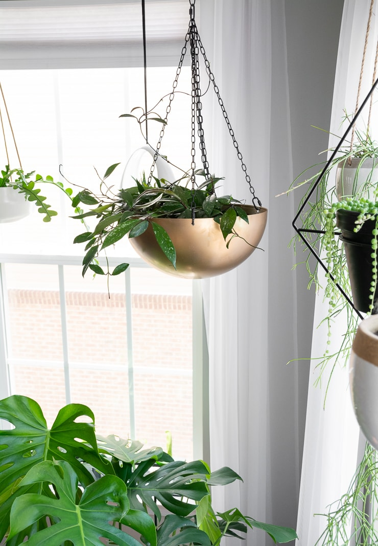 beautiful large hoya pubicalx plant in a gold hanging planter