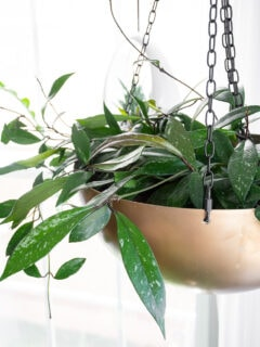 hoya pubicalyx plant in a hanging planter