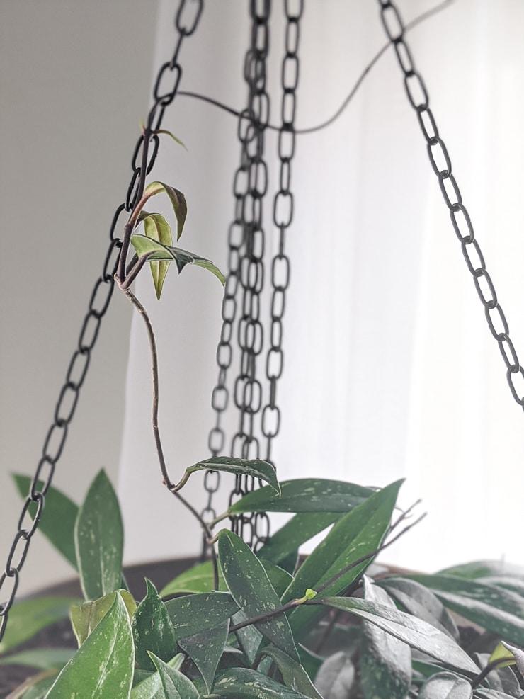 vines on a hoya pubicalyx plant