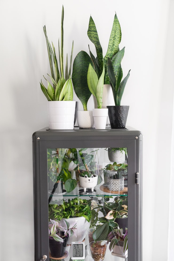 beautiful snake plants on top of an Ikea greenhouse cabinet