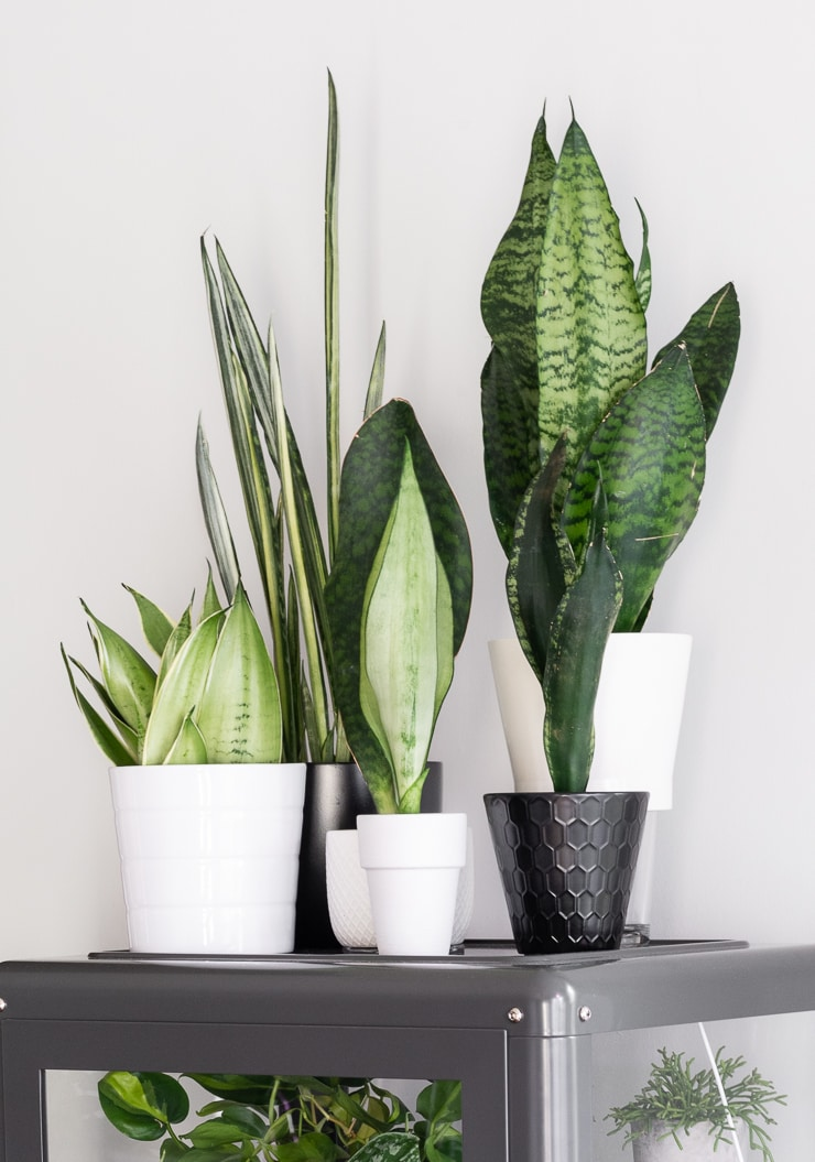 variety of snake plants on top of a cabinet