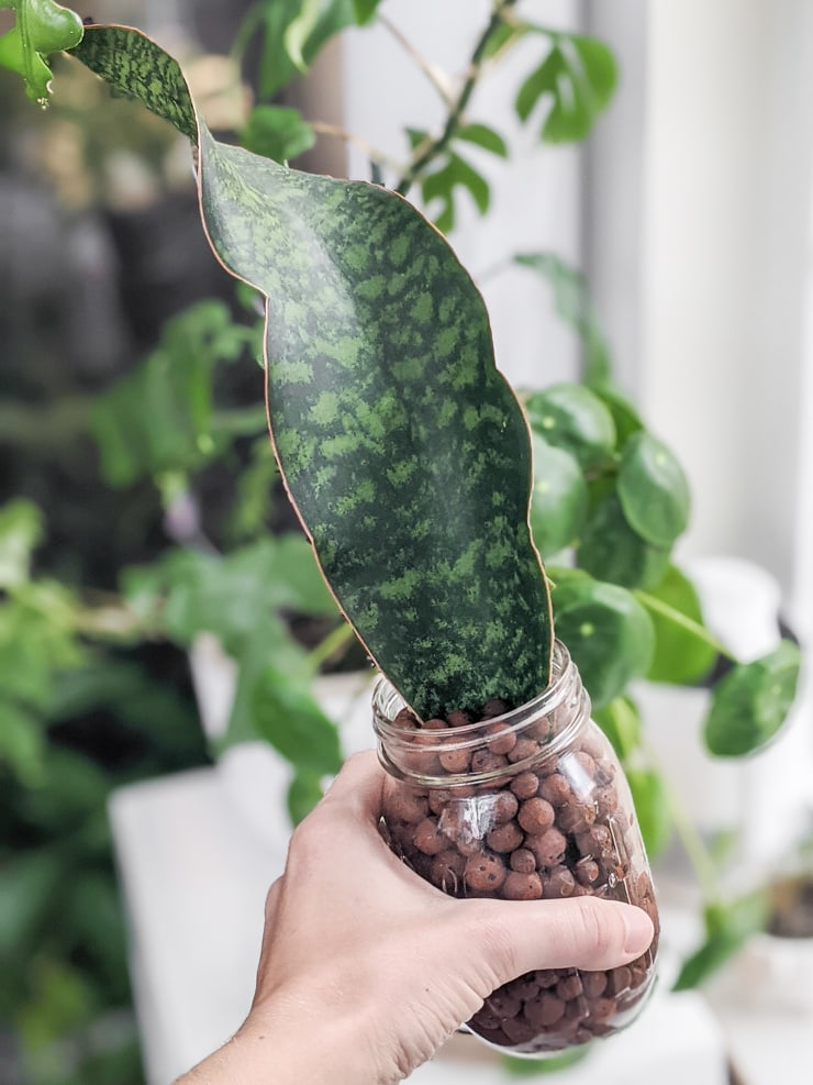 whale fin snake plant leaf in LECA