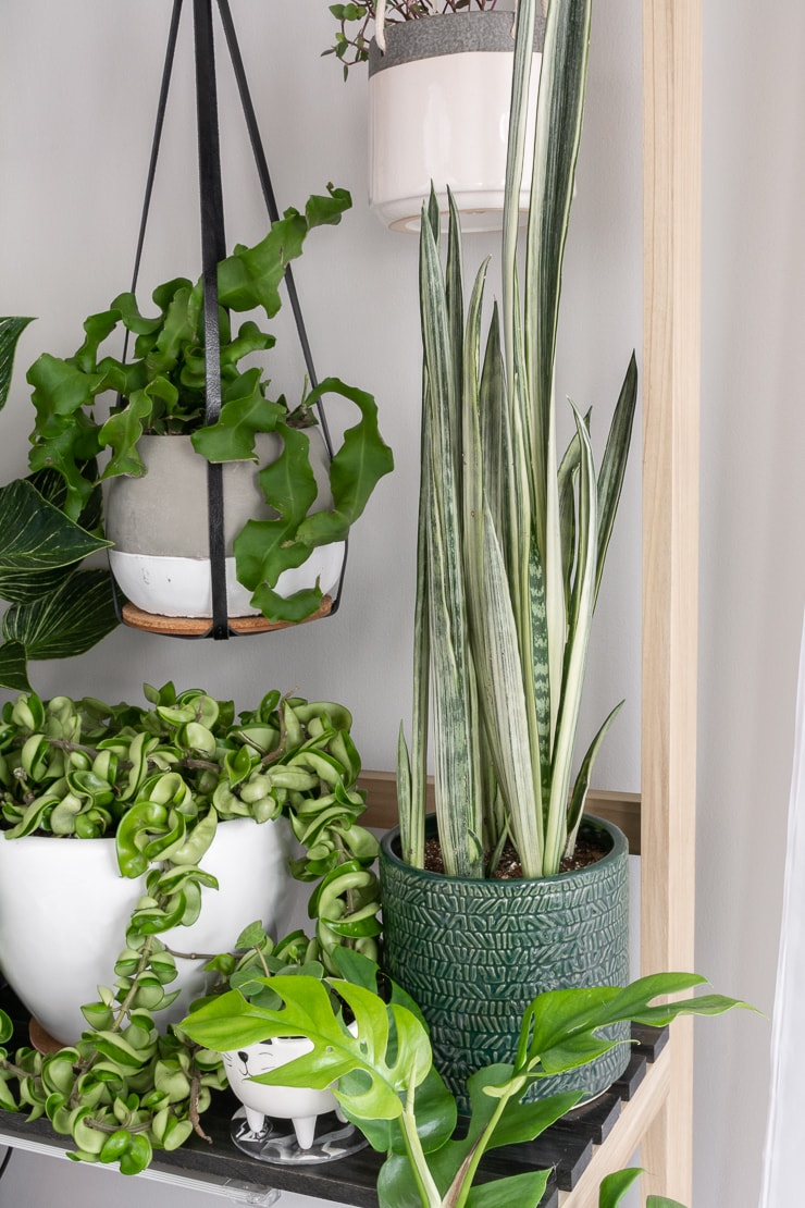 beautiful bantel's sensation snake plant with other plants on a plant stand