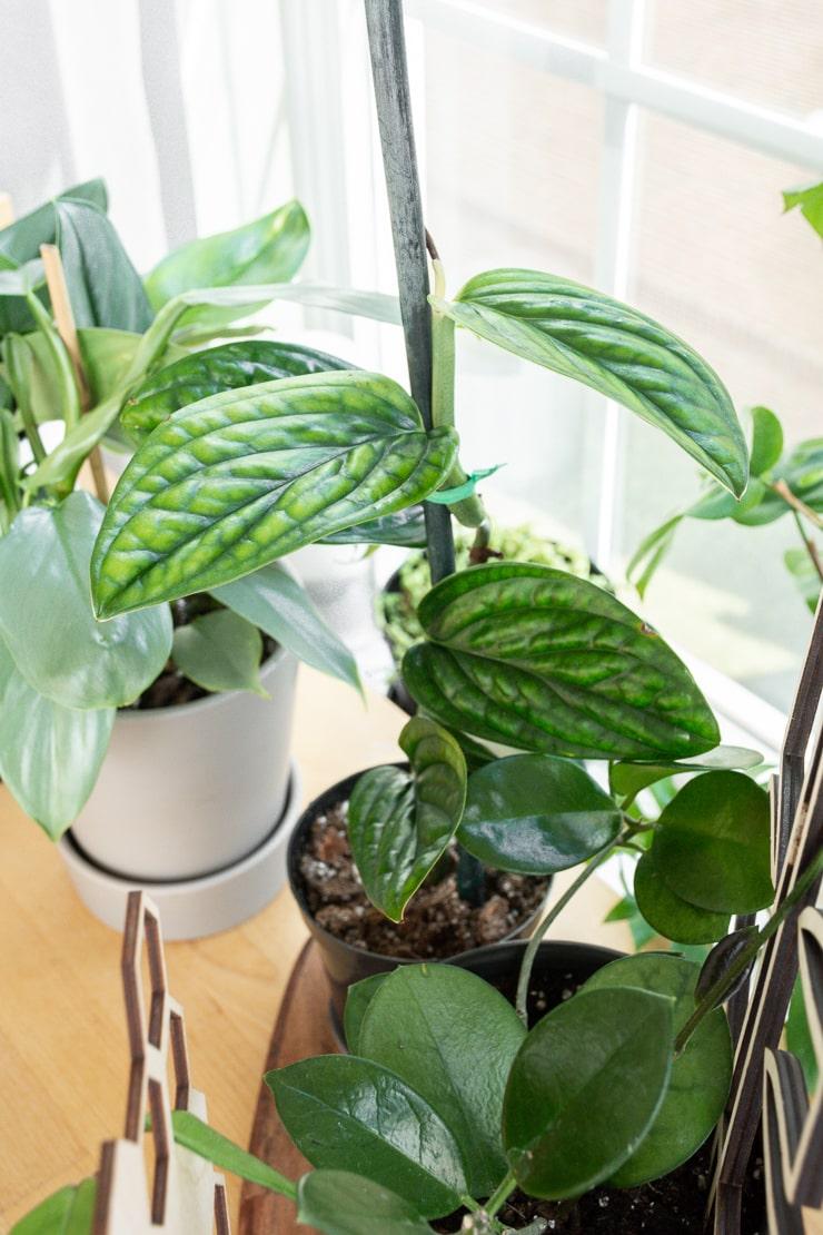 climbing monstera karstenianum plant