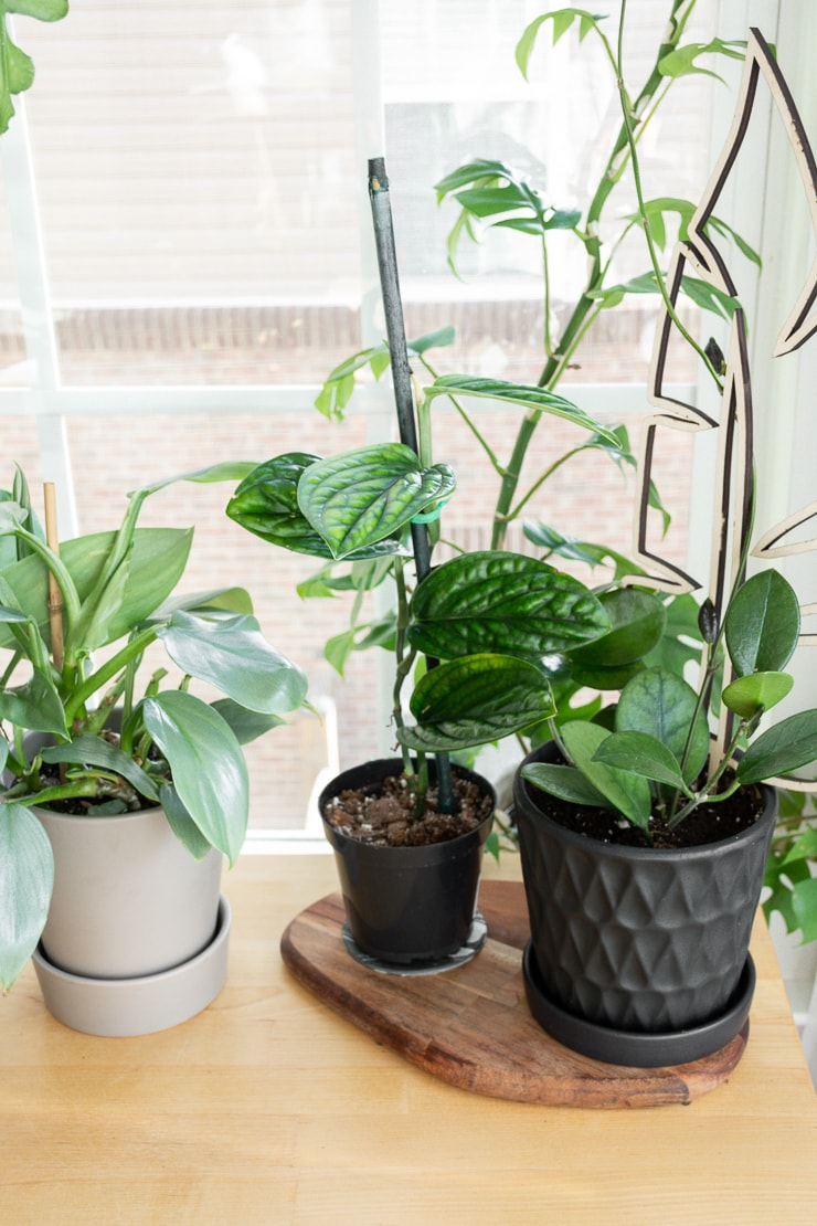 philodendron silver sword, monstera peru, and hoya australis on a table
