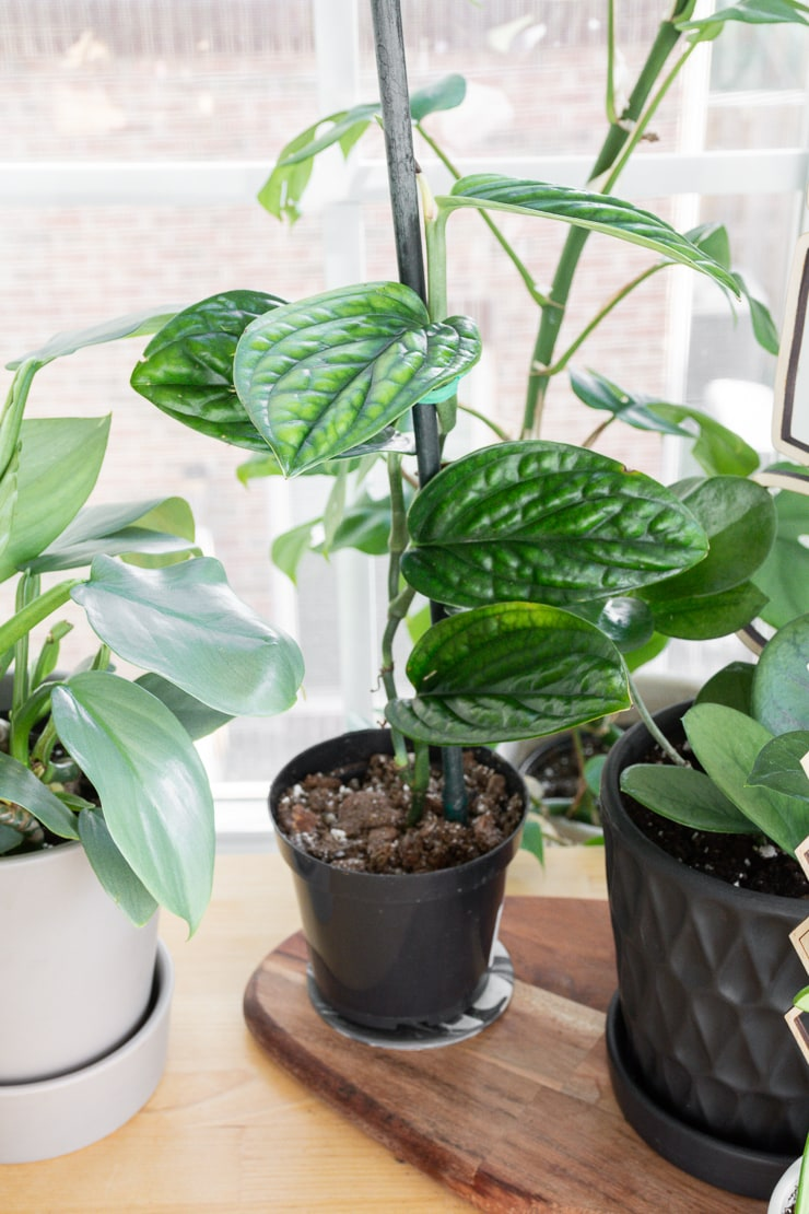 climbing monstera peru plant on a table with other plants