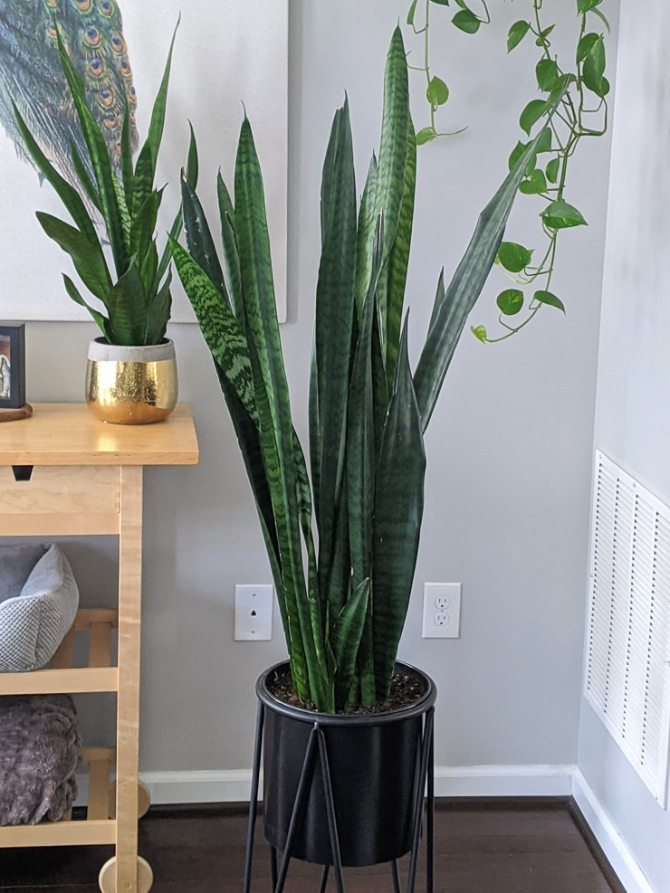 large snake plant in a black planter