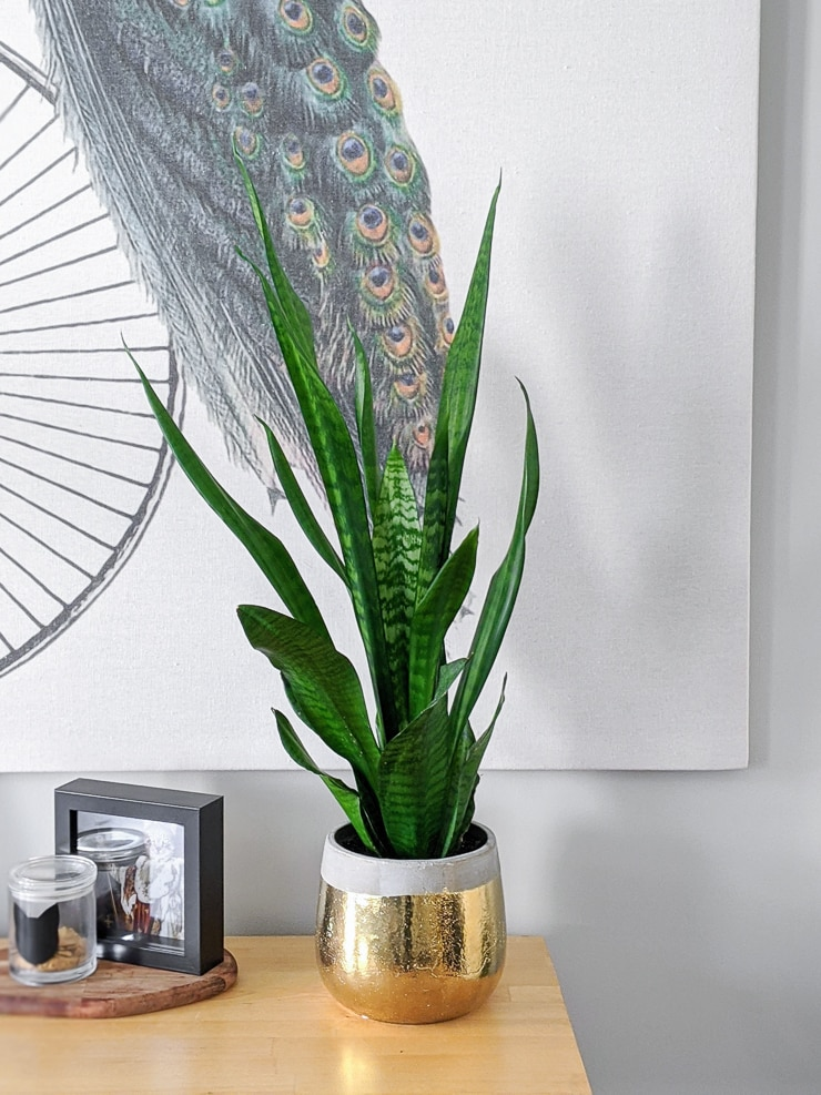 snake plant in a concrete and gold pot on a bar cart