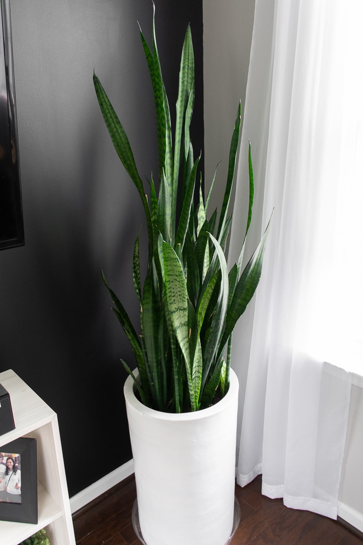 Trifasciata variety of snake plant in a large white pot