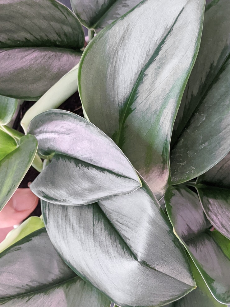 scindapsus treubii moonlight plant leaves