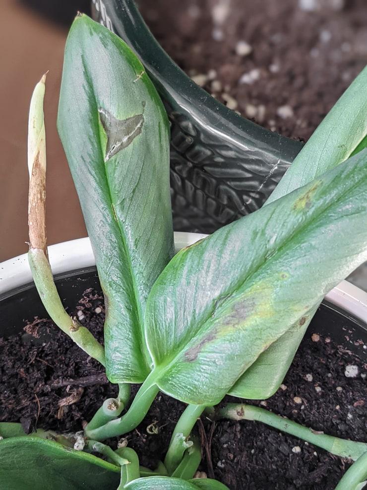 cold-damaged scindapsus treubii moonlight plant