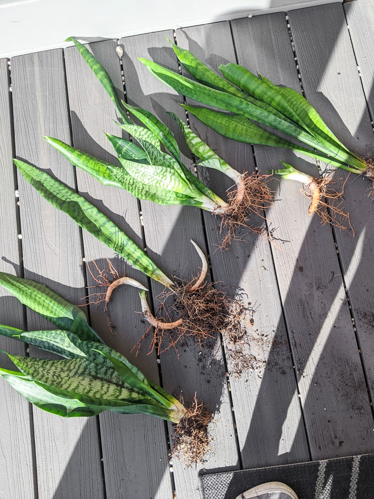 snake plants out of soil with their rhizomes and roots showing