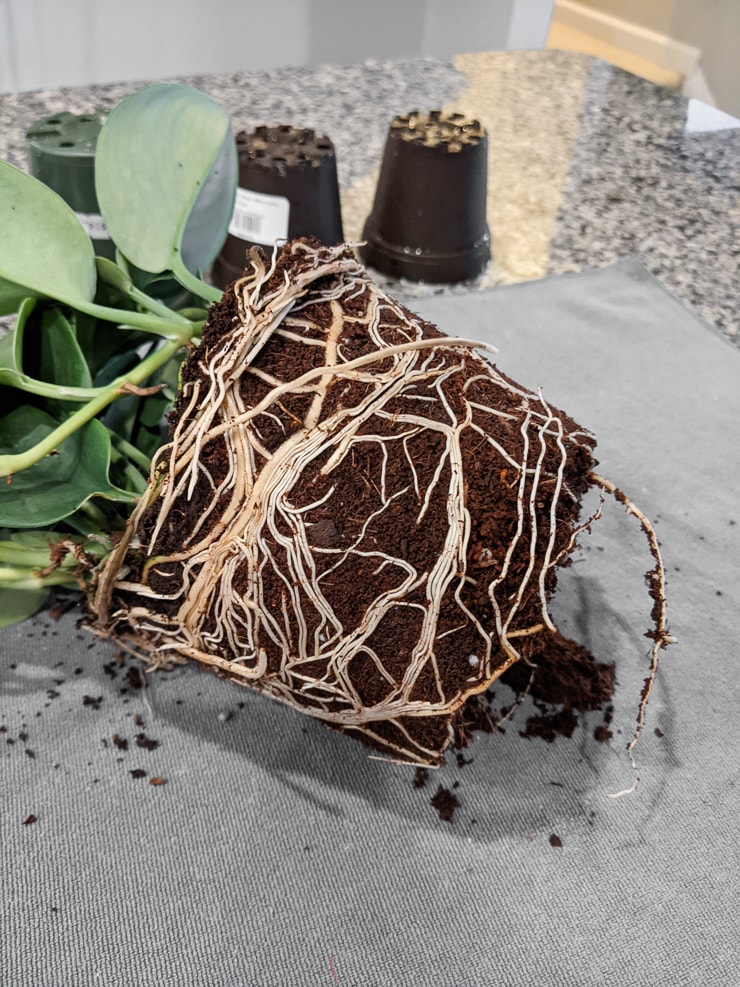 root system on a large scindapsus treubii moonlight plant