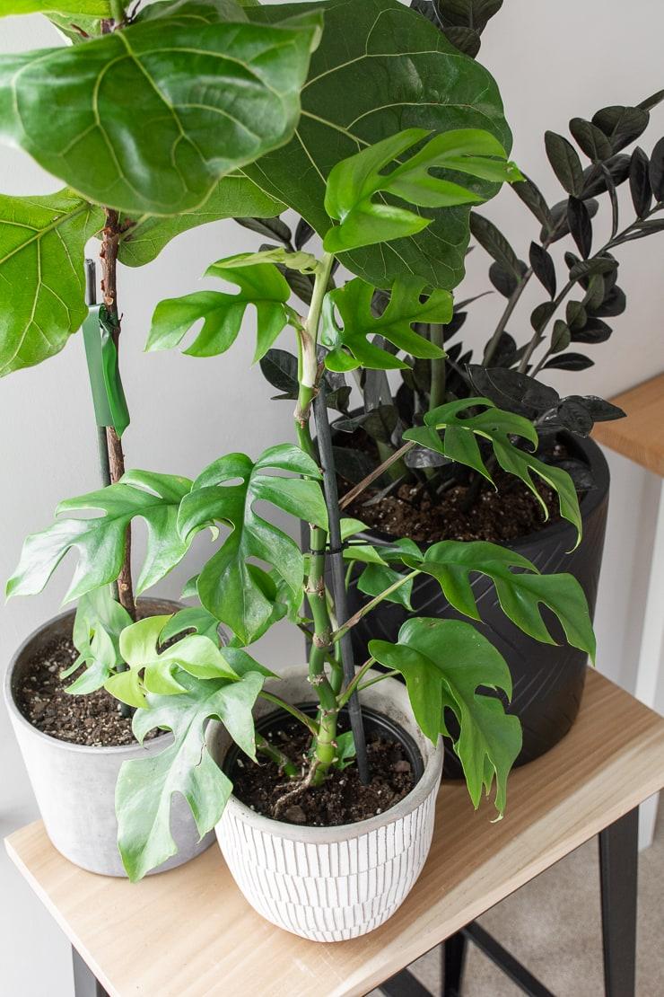 Rhaphidophora Tetrasperma plant