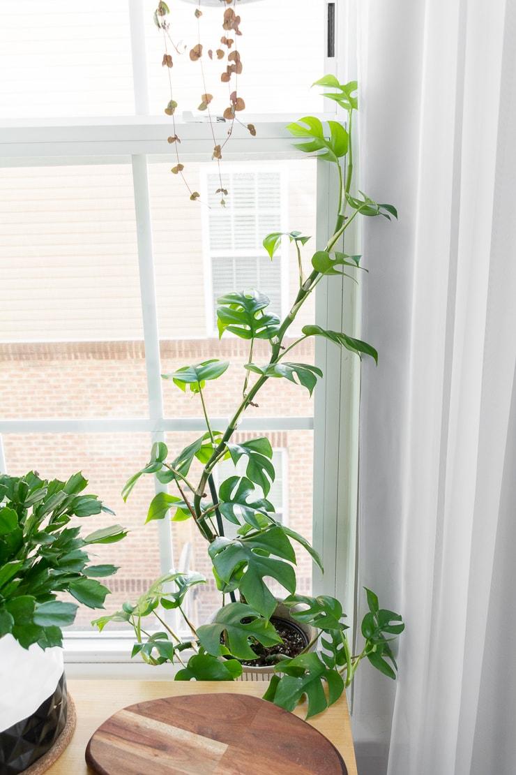 Rhaphidophora Tetrasperma plant in a window