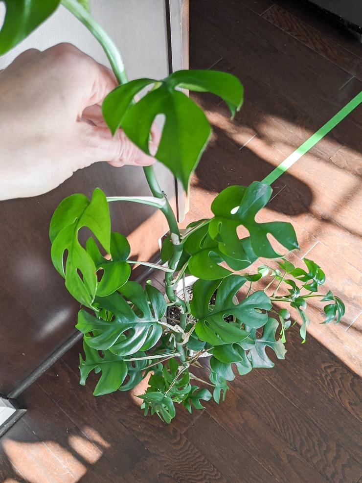 mini monstera plant in a pot