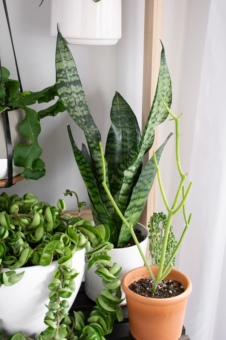 Snake plant on a table with other plants