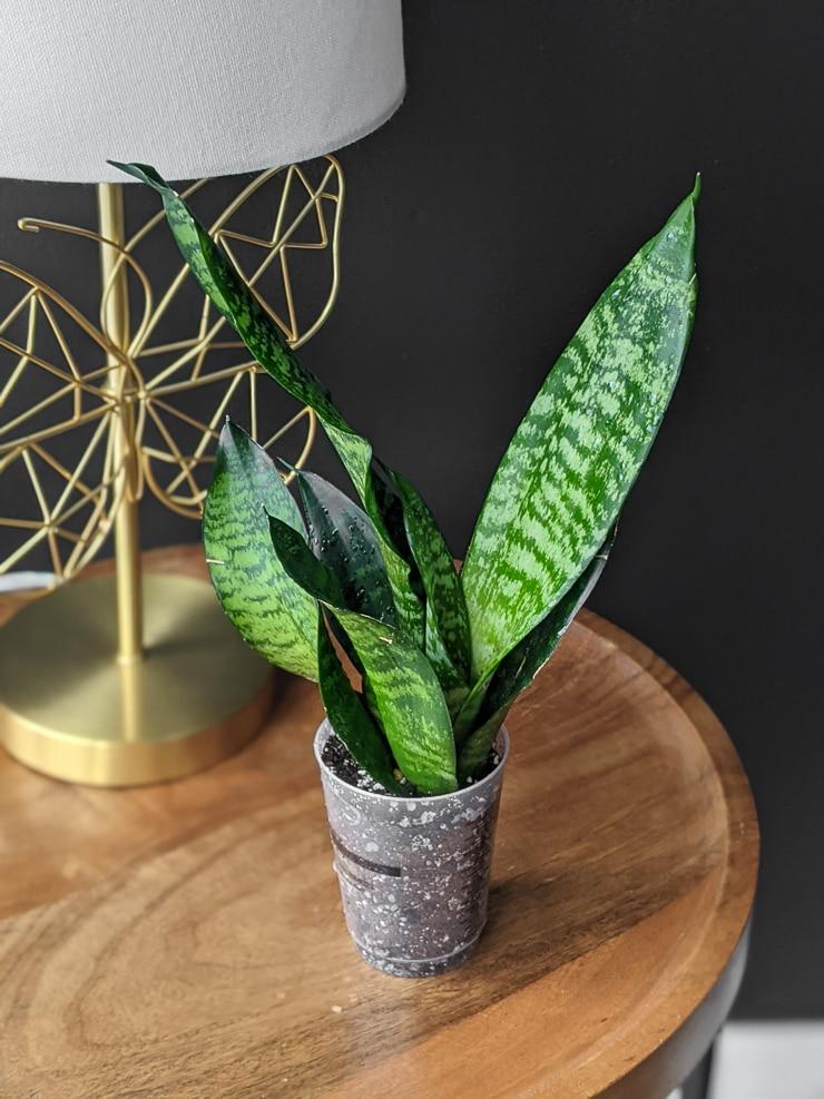 Trifasciata robusta plant