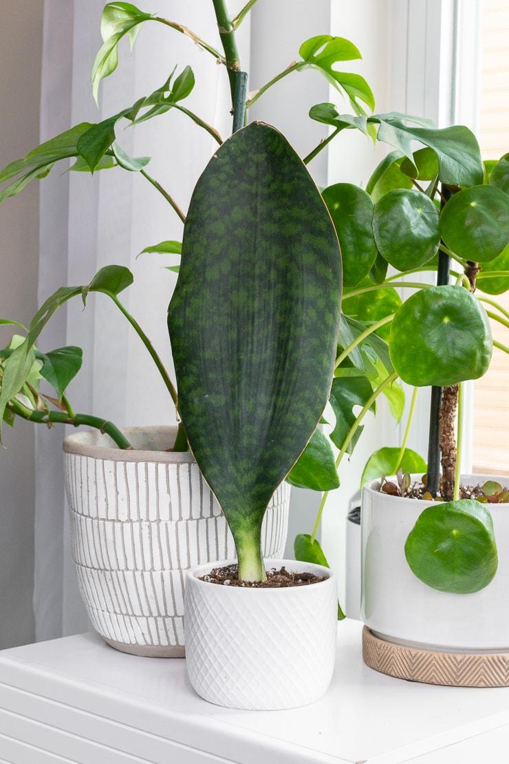 sansevieria masoniana whale fin snake plant