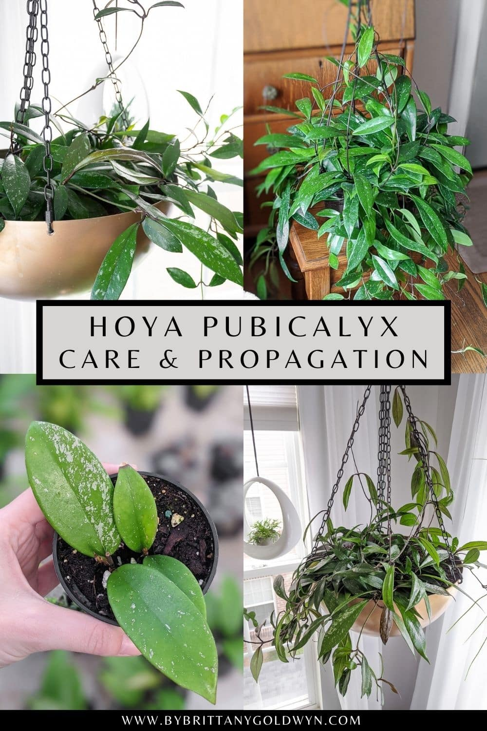 pinnable graphic of hoya pubicalyx photos and text overlay about how to care for and propagate the plant