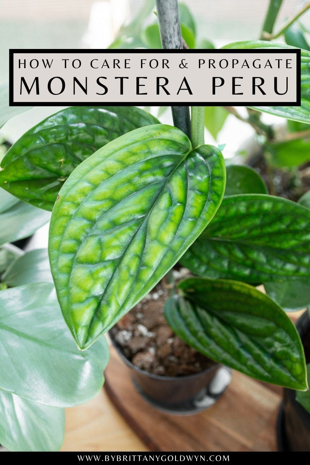 pinnable graphic with photos of a Monstera Peru and text about how to care for a propagate it
