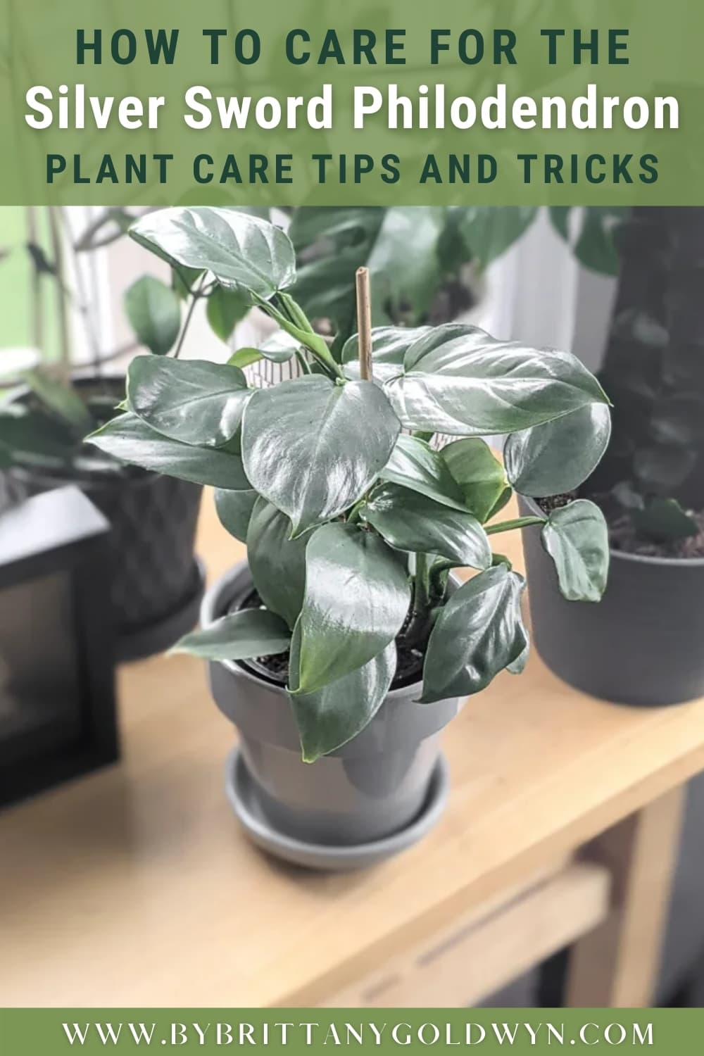 silver sword philodendron with text overlay