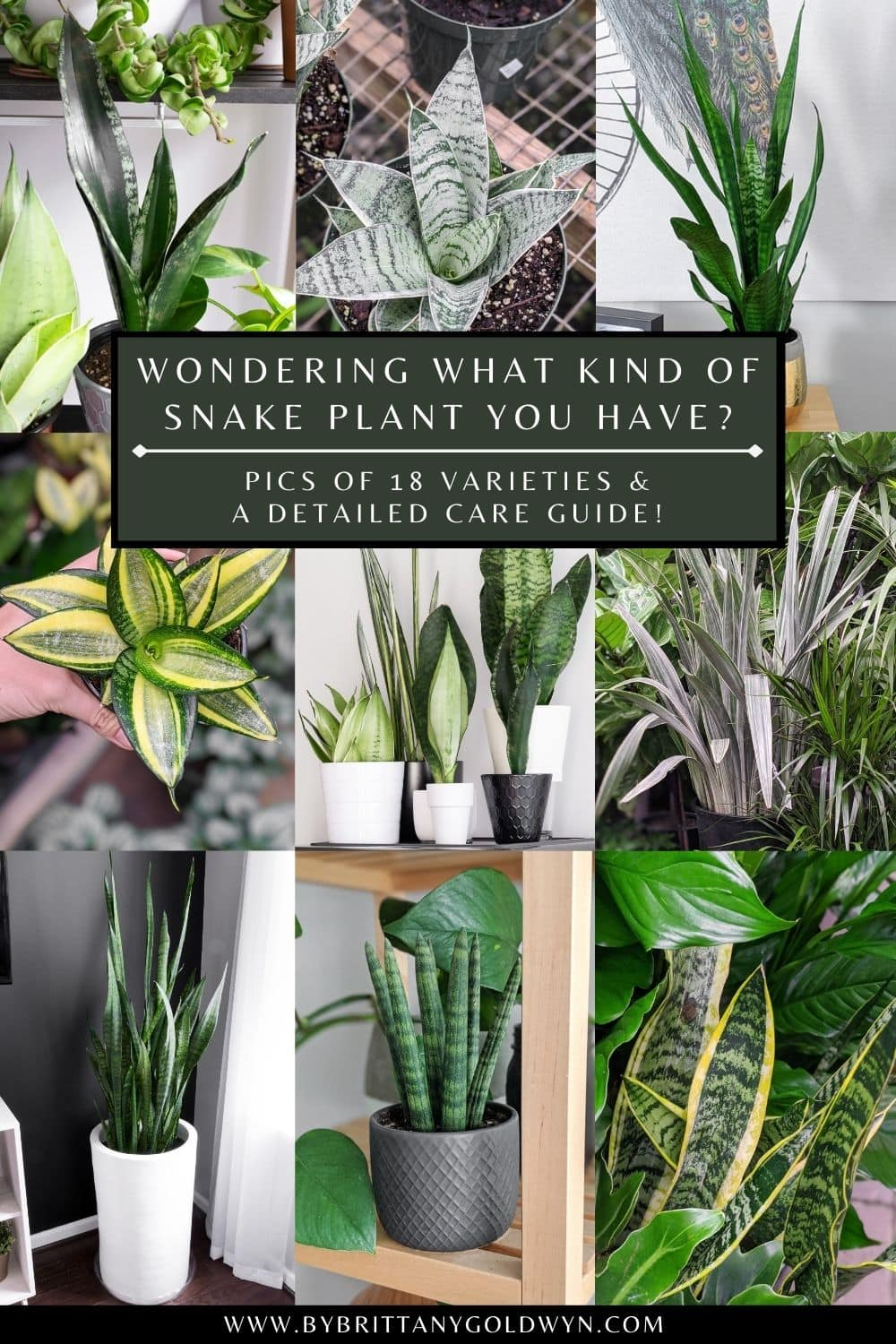 pinnable graphic with images of snake plants and text overlay about different varieties and how to care for them