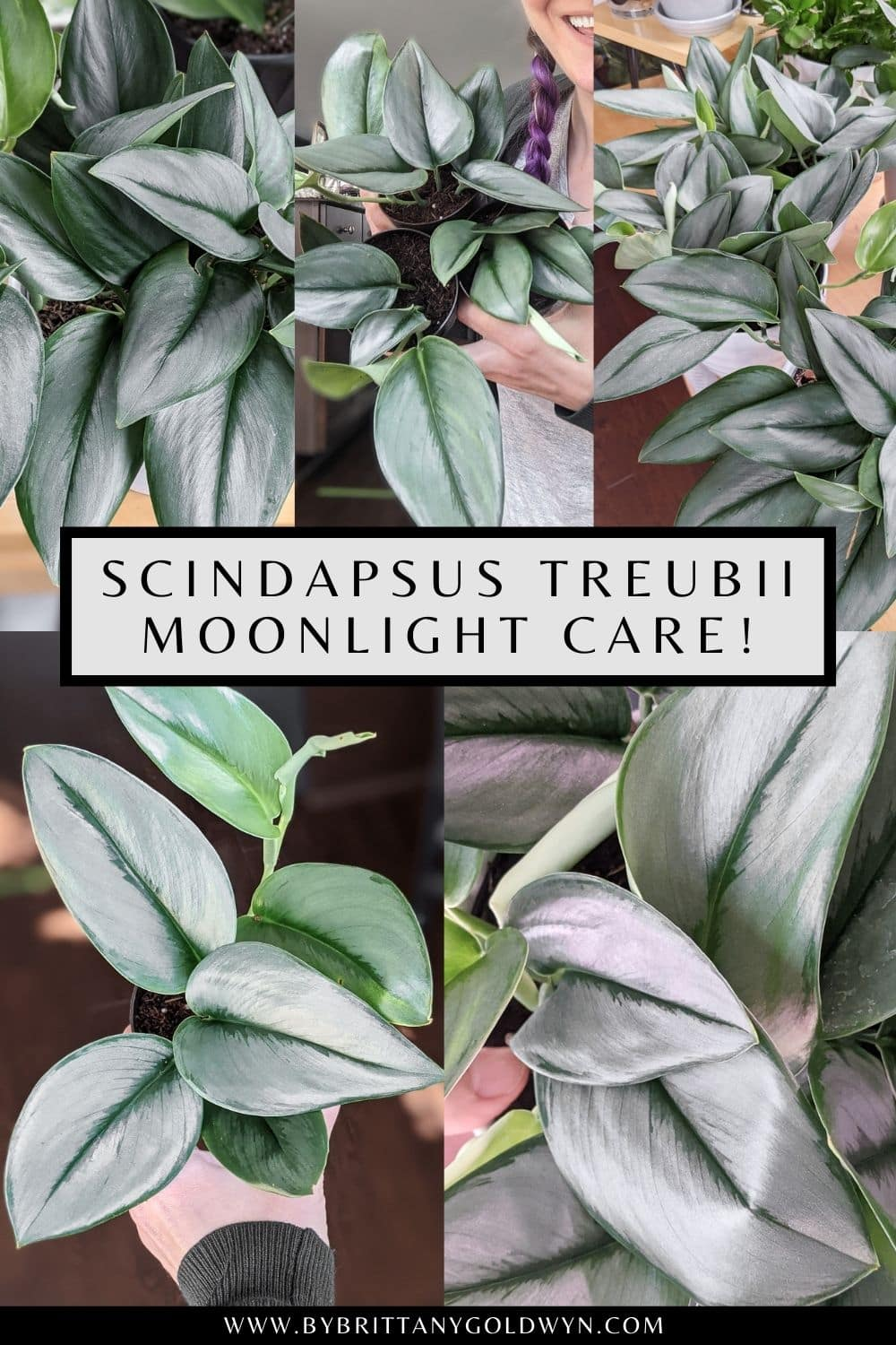 pinnable graphic with photos of scindapsus treubii moonlight with text overlay about how to care for the plant
