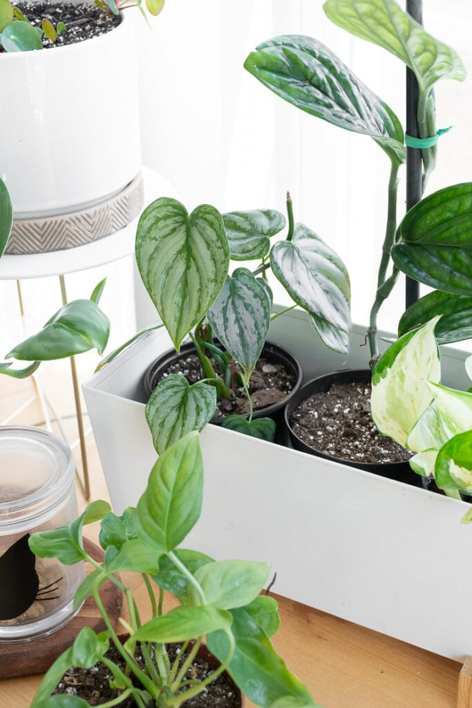 philodendron brandi plant on a table with other plants