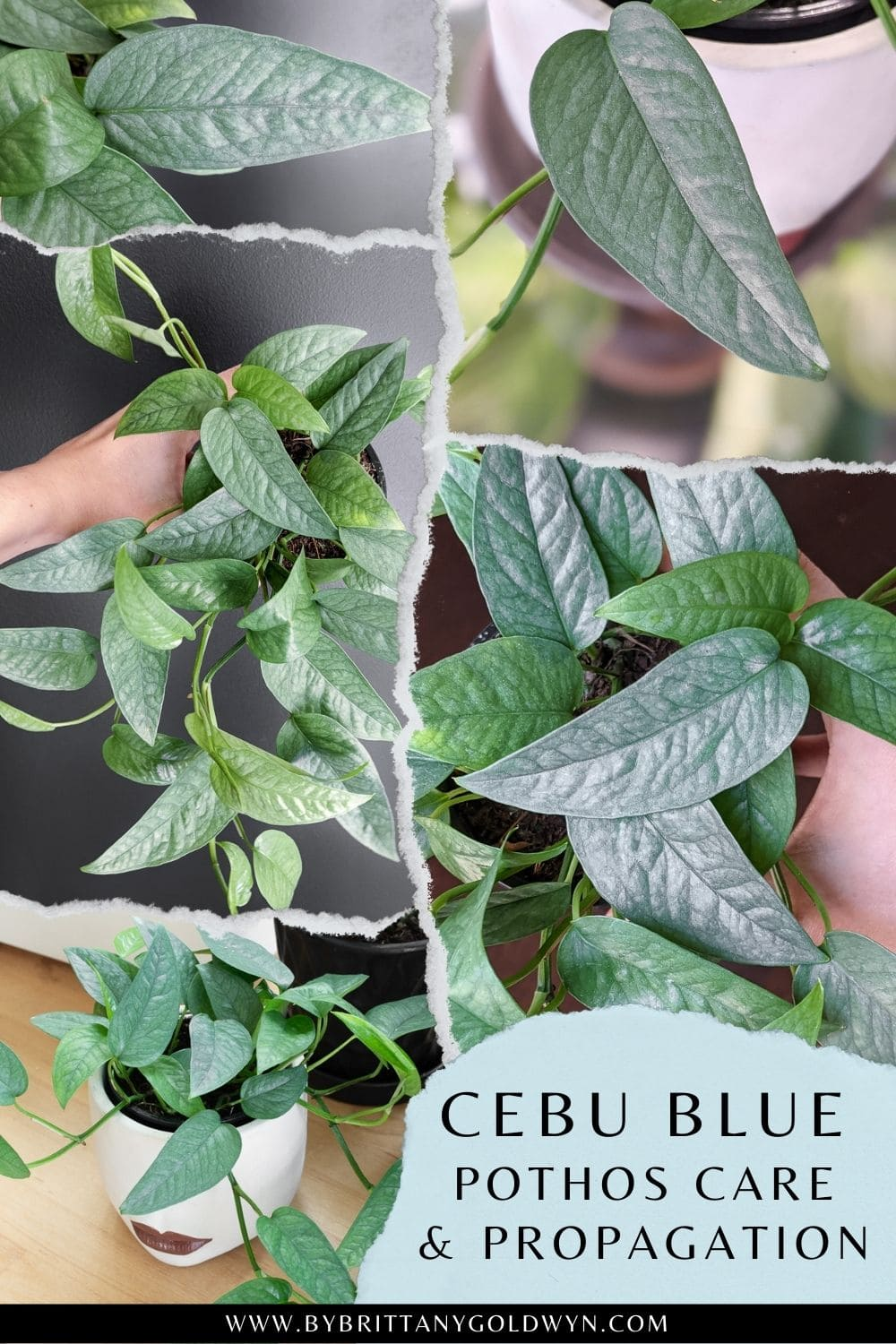 pinnable graphic with images of a cebu blue pothos and text overlay about how to care for and propagate it