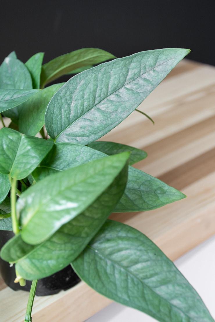 cebu blue pothos leaves