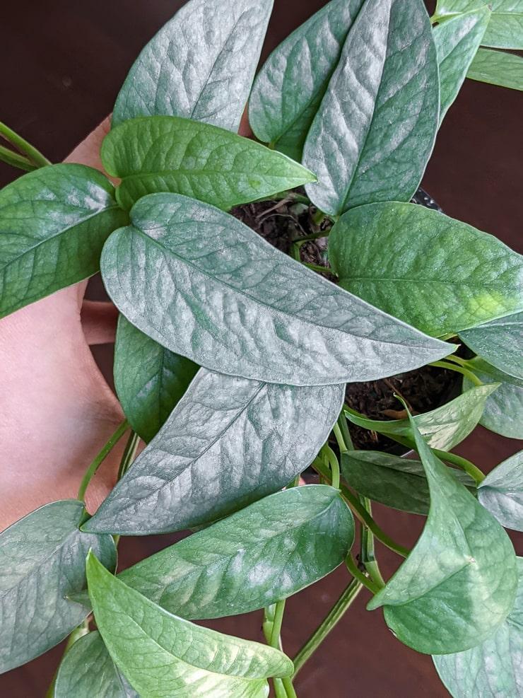 stunning cebu blue pothos leaves