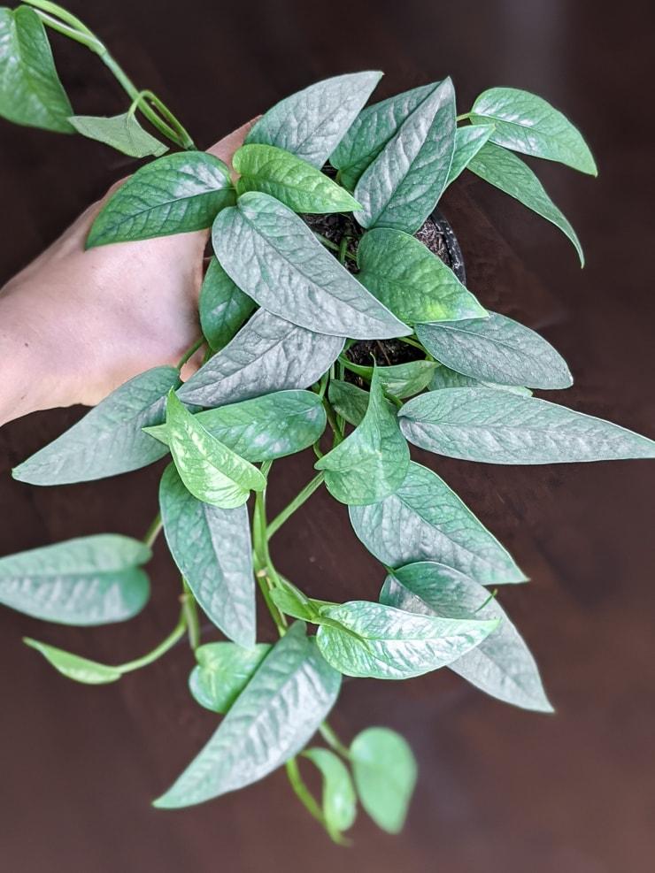 stunning climbing cebu blue leaves