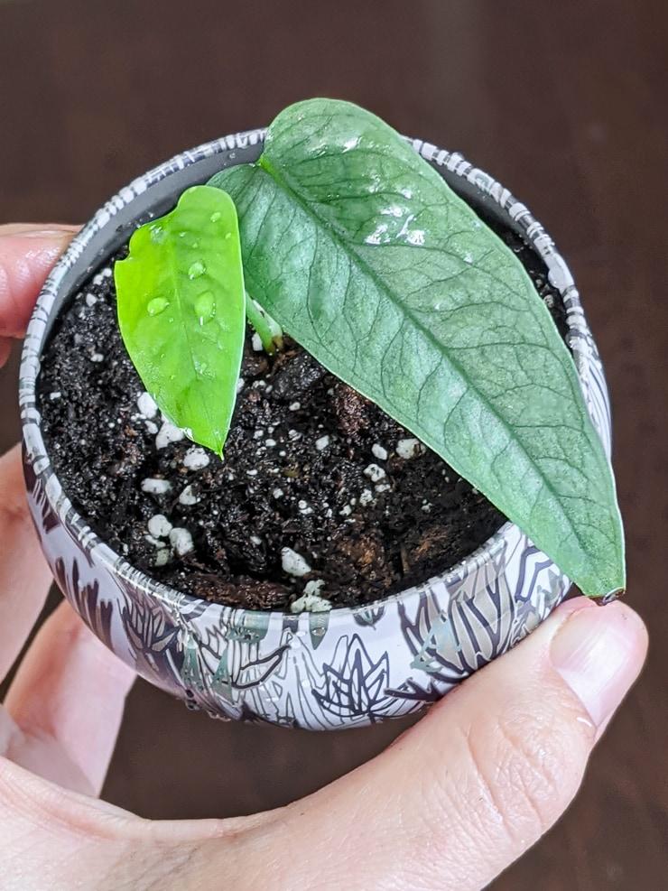 propagated cutting of cebu blue pothos