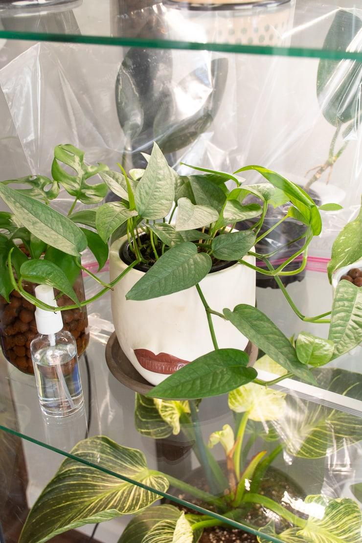 beautiful cebu blue plant in an ikea greenhouse cabinet