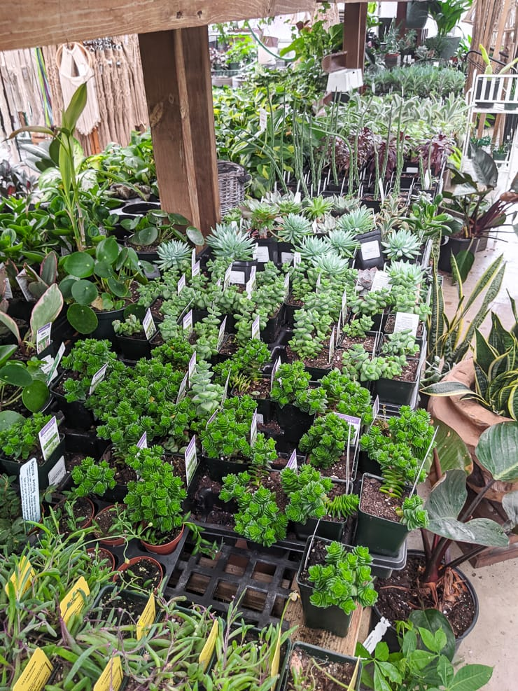 beautiful succulents in a nursery