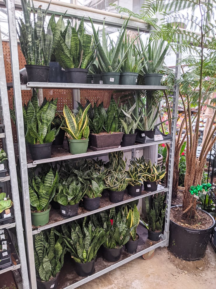 display of snake plants at D.R. snell nursery